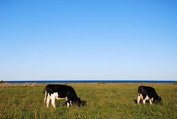 Cows in a peaceful coastal landscape stock photo