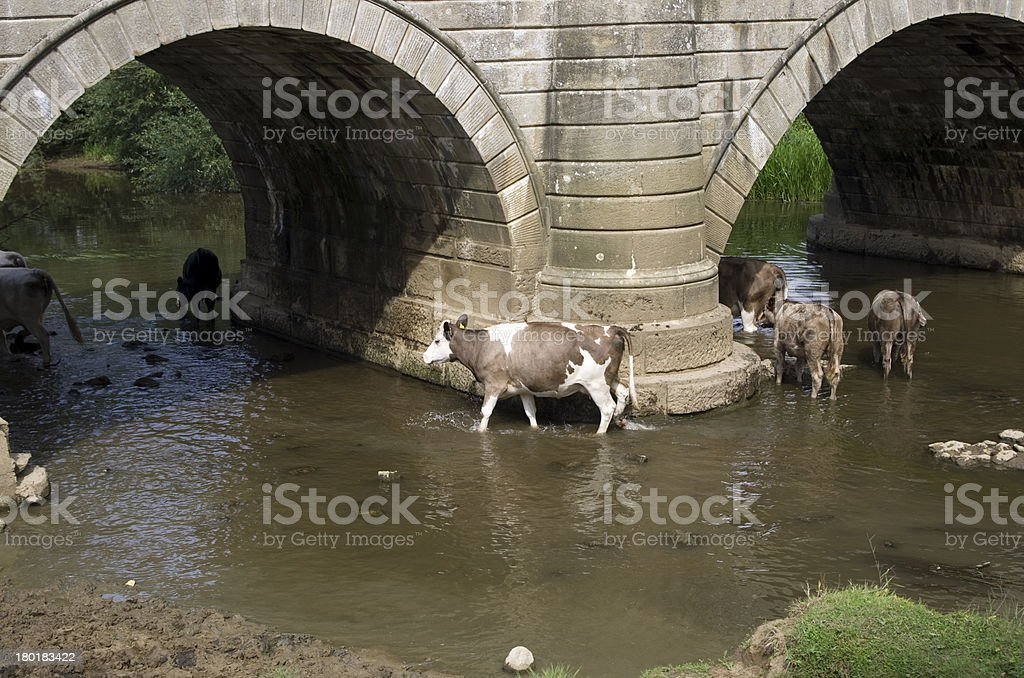 Cows in a River royalty-free stock photo