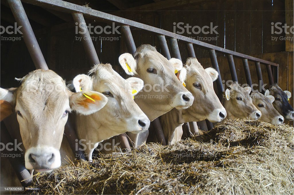 Cows in a row stock photo