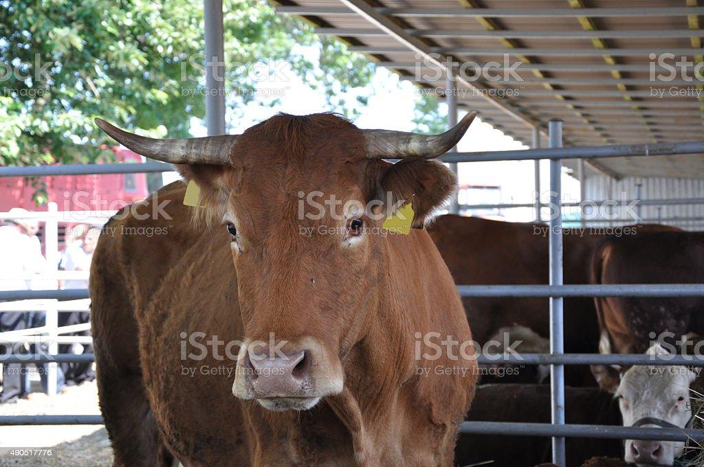Kühe in einer Reihe – Foto