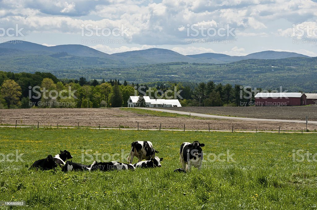 Cows in a spring field Holstein cows rest in a spring field covered with green grass and dandelions in this Vermont landscape. Agriculture Stock Photo