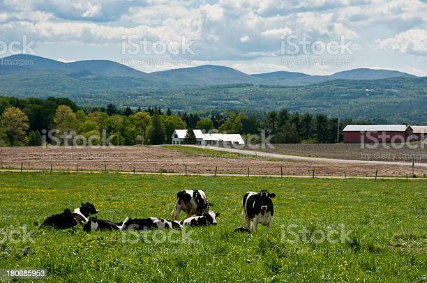 Cows In A Spring Field Stock Photo - Download Image Now