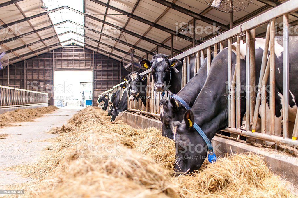 Cows in a stable stock photo
