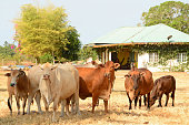 Langkawi : mix breed cattle standing in a pasture, in front of a small house.