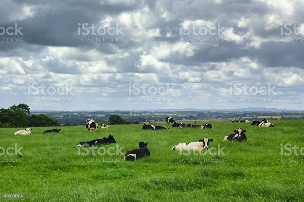 Cows in Brittany (France) stock photo