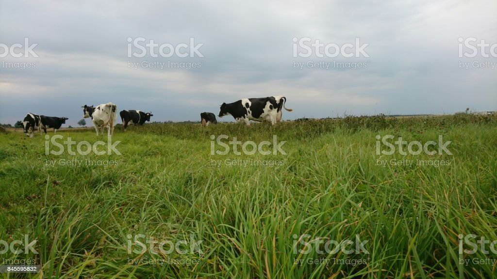 Cows in cloudy day stock photo