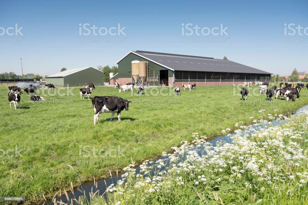 vacas em Holandês Prado num dia ensolarado de verão no sul da Holanda - Foto de stock de Agricultura royalty-free