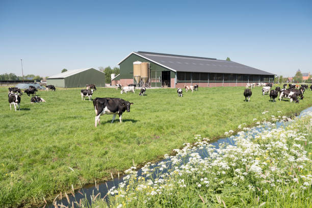 cows in dutch meadow on sunny summer day in south holland cows in dutch meadow on sunny summer day in the netherlands with farm in the background dairy farm stock pictures, royalty-free photos & images