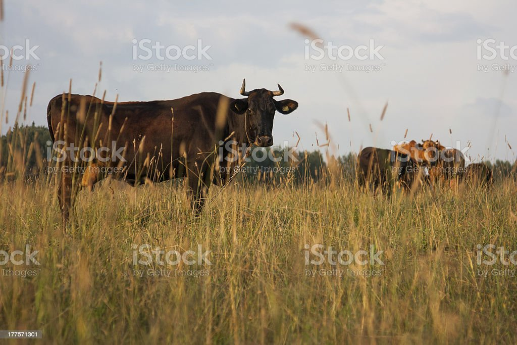 cows in field looking at viewer summer stock photo