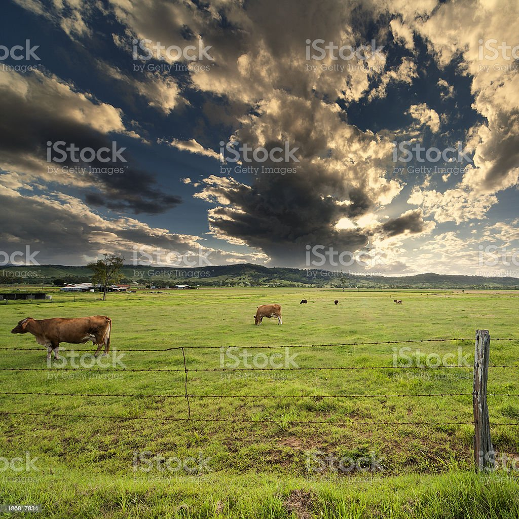 Cows in Field stock photo