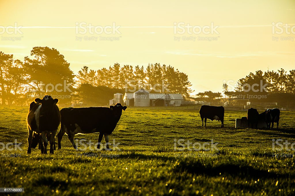 Cows in front of a dary shed. stock photo