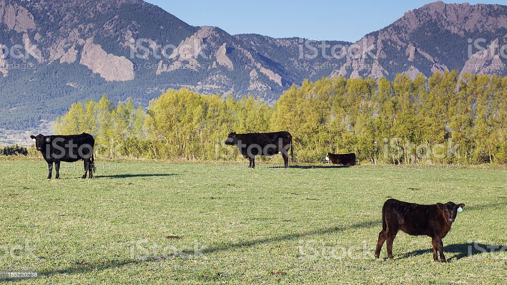 Cows in front of Boulder Flatirons royalty-free stock photo