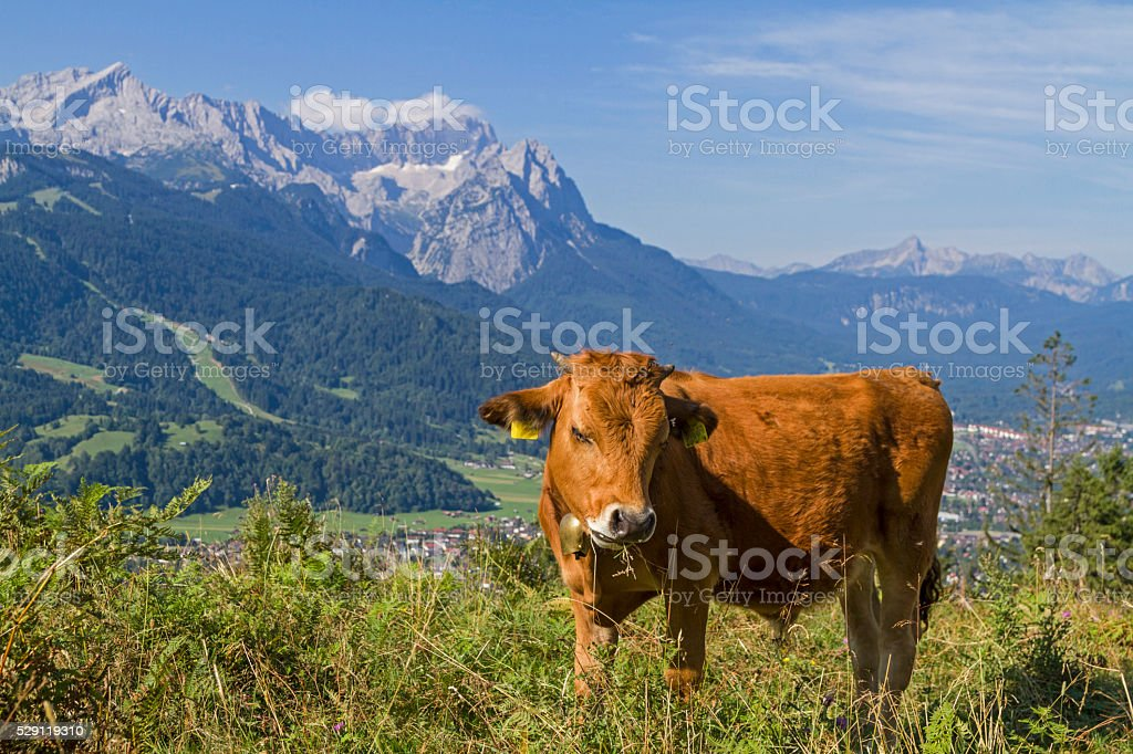 Cows in front of Wetterstein Mountains stock photo