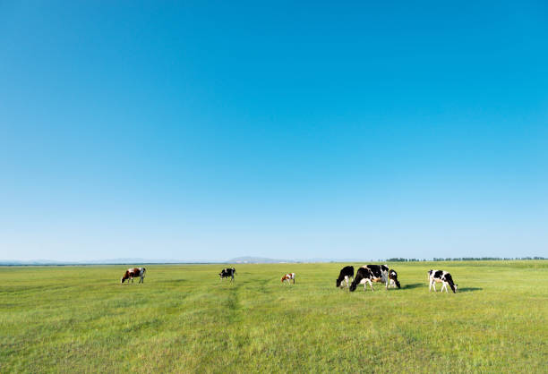 Cows in green field on a clear day Cows in green field on a clear day. paddock stock pictures, royalty-free photos & images