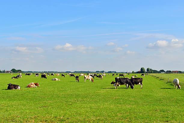 Mucche nelle idilliache pascoli - foto stock