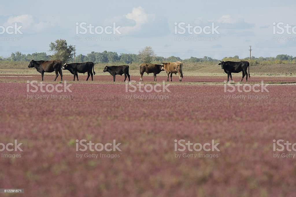 Cows in line stock photo