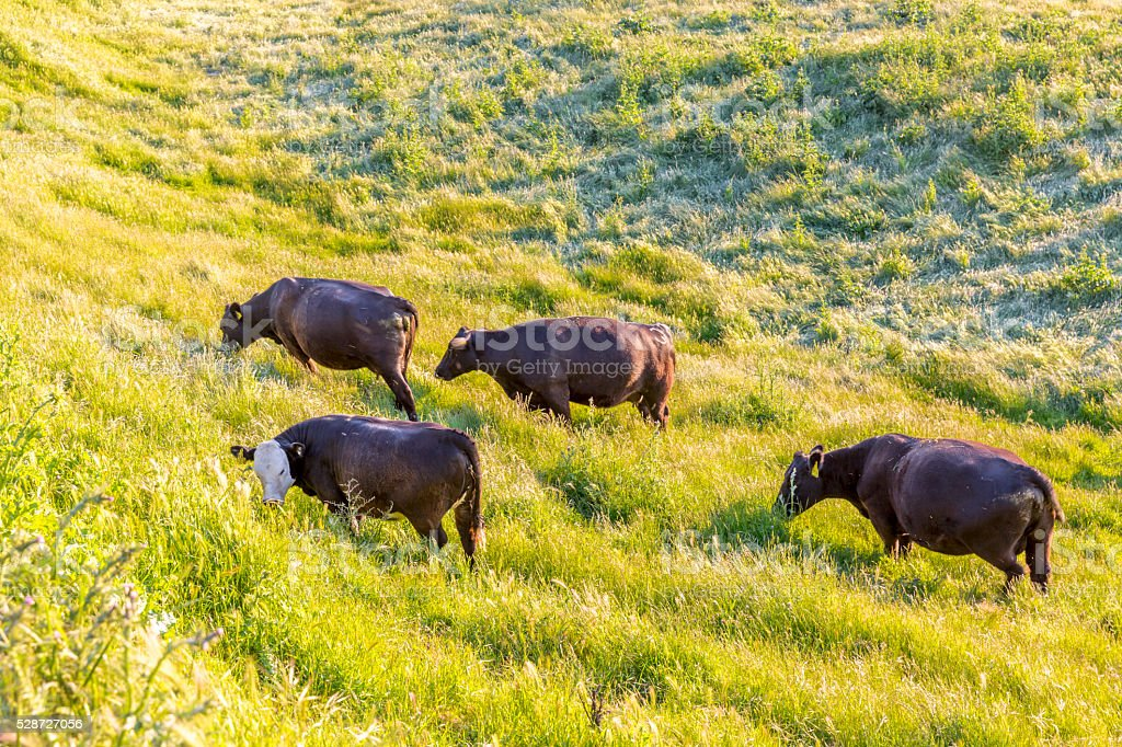 Cows in Mission Peak Park, Fremont, California stock photo