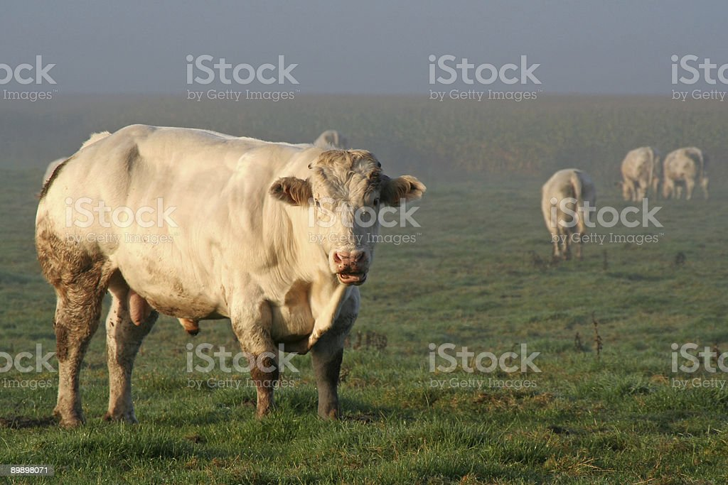 Cows in misty morning royalty-free stock photo