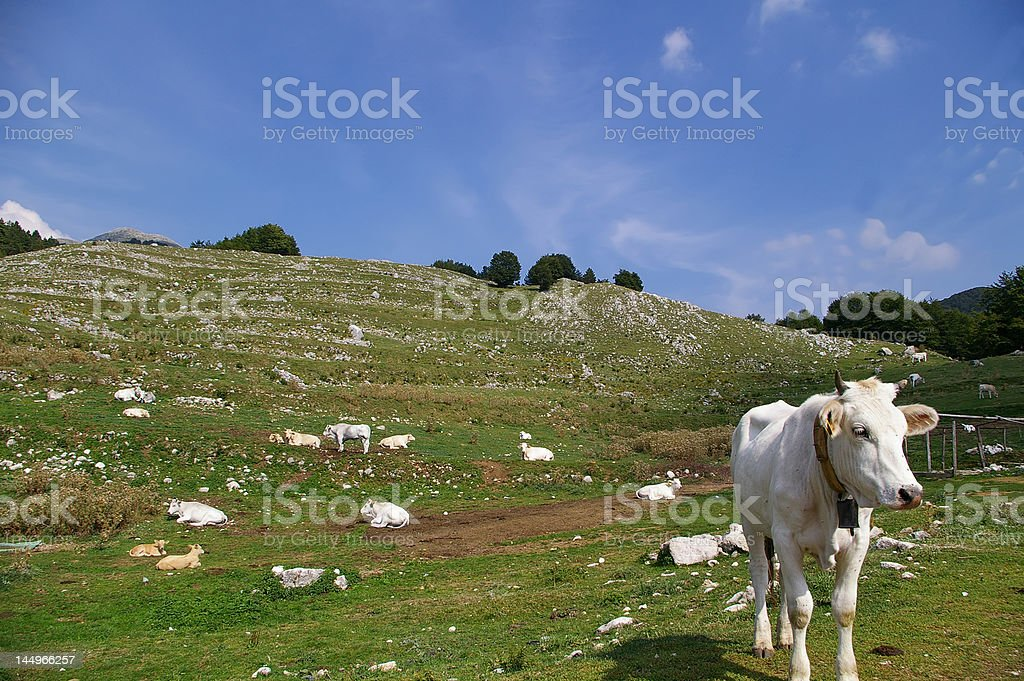 cows in pasture royalty-free stock photo
