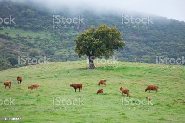 Cows in prairie in sierra de aracena huelva picture id1141455667?b=1&k=6&m=1141455667&s=612x612&h=guuzp3zhru1eyv0v4 hb0zmdt bnw12ieoshlij5py0=