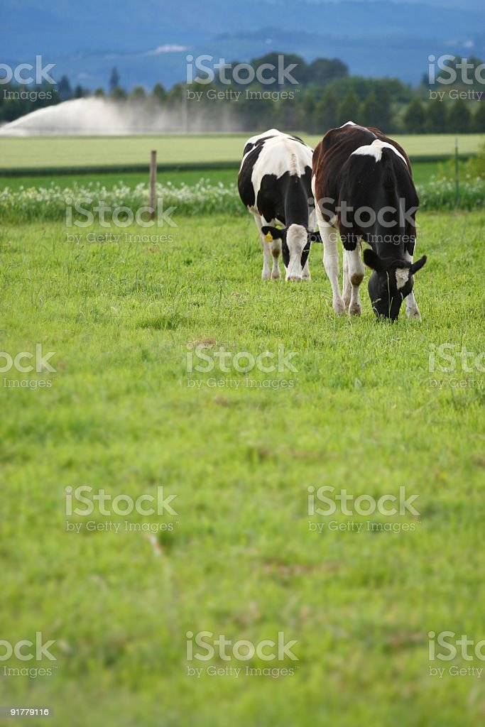 Cows in Rural Setting royalty-free stock photo