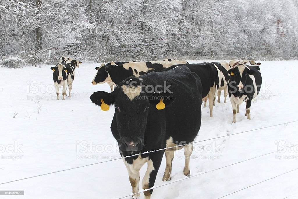 Cows in Season's First Snowfall royalty-free stock photo