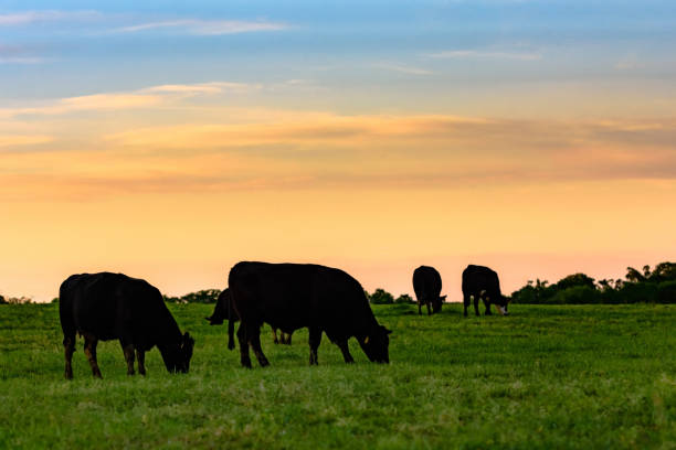 Cows in silhouette against colorful sky stock photo