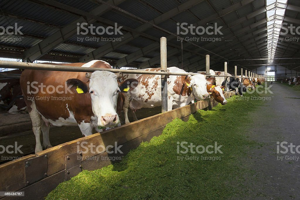 Cows in Stable stock photo