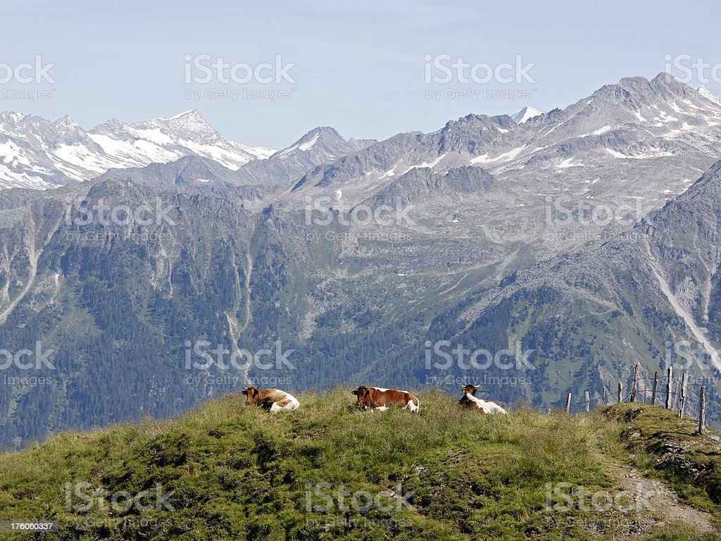 Cows in the alps royalty-free stock photo