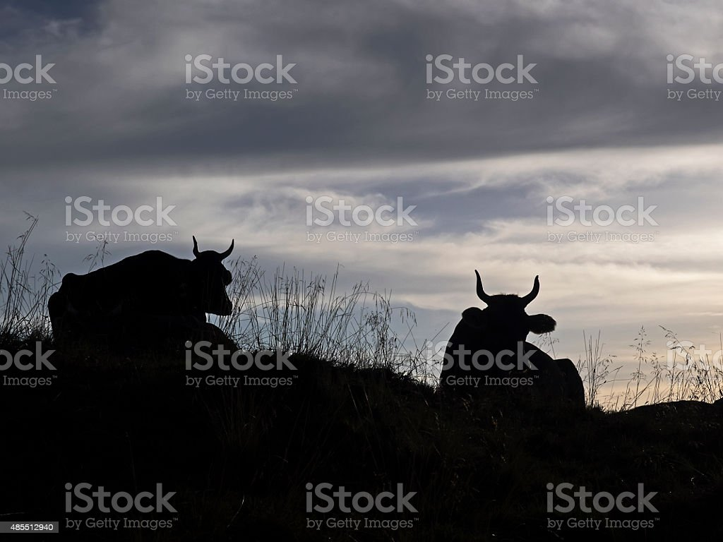 Kühe in die Helligkeit, Kühe im back machine – Foto