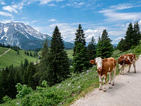 Cows in the Berchtesgaden Alps