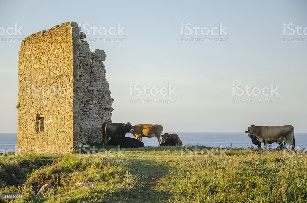 Cows in the coastside. royalty-free stock photo