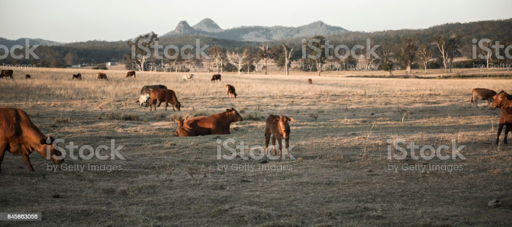 Cows in the countryside during the day. stock photo