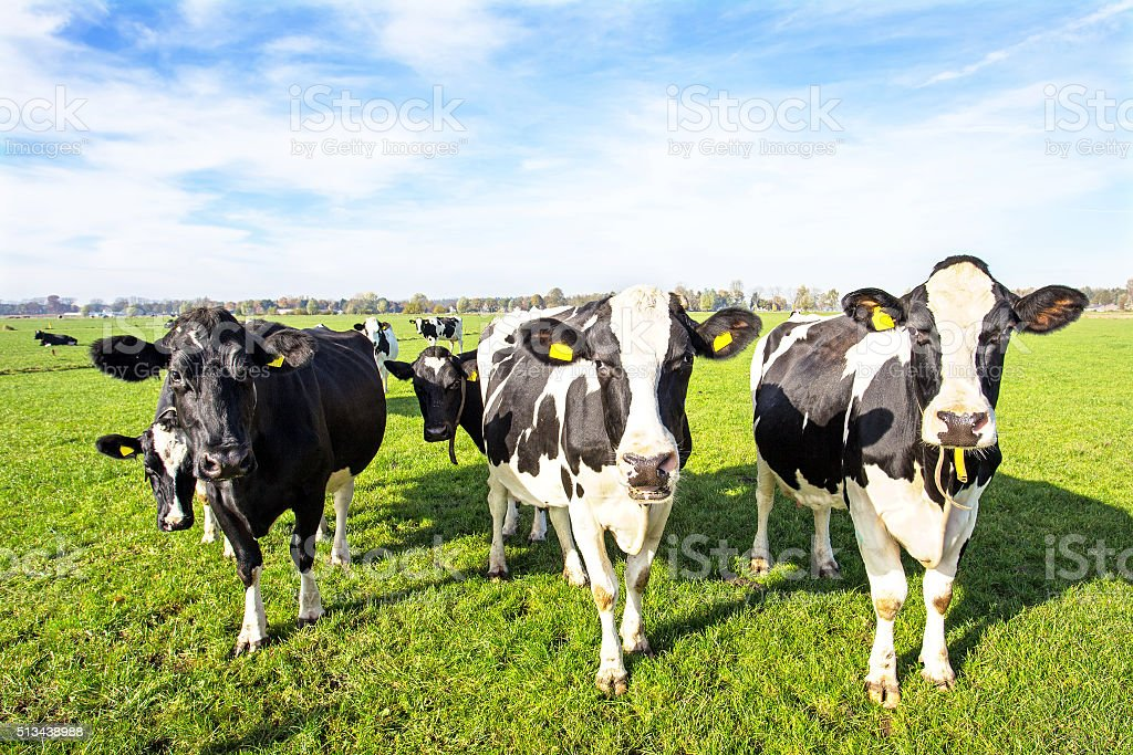 Cows in the countryside from the Netherlands stock photo