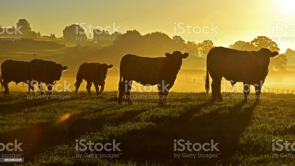 Cows in the County! - foto de acervo