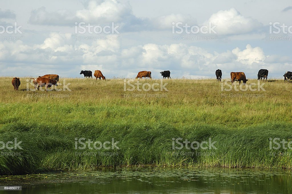 Cows in the field royalty-free stock photo