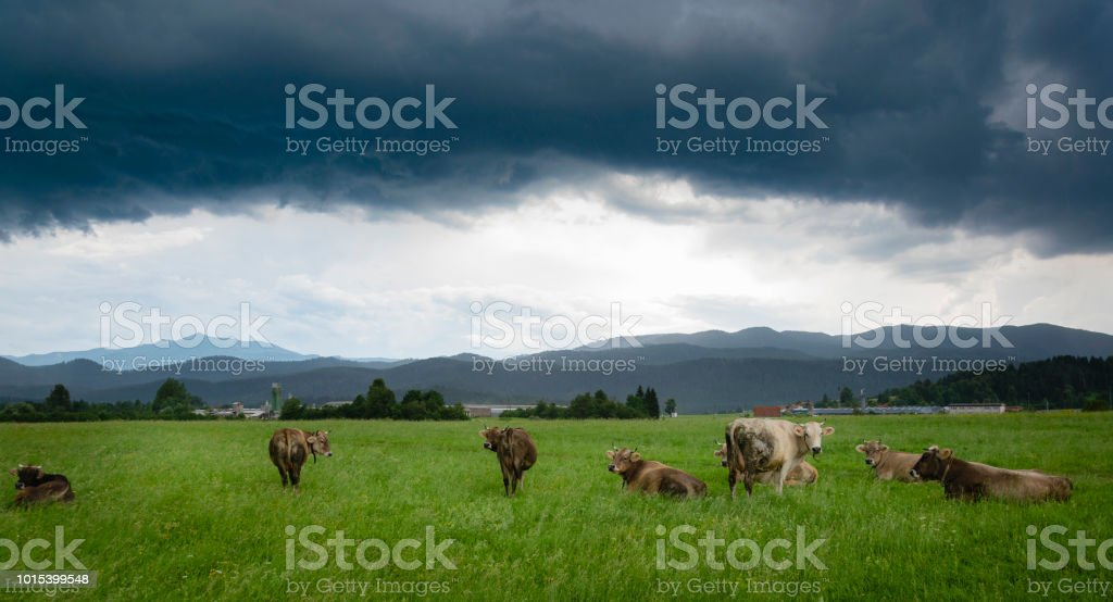 Cows In The Field Under Stormy Clouds With Rain stock photo