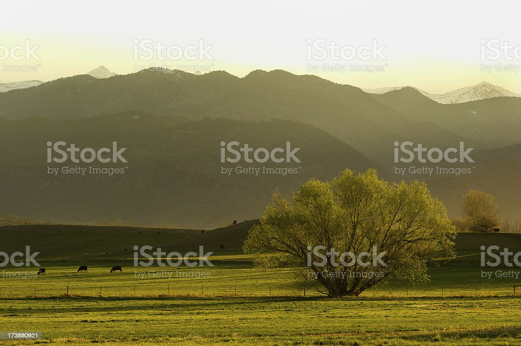 Cows in the Hills stock photo