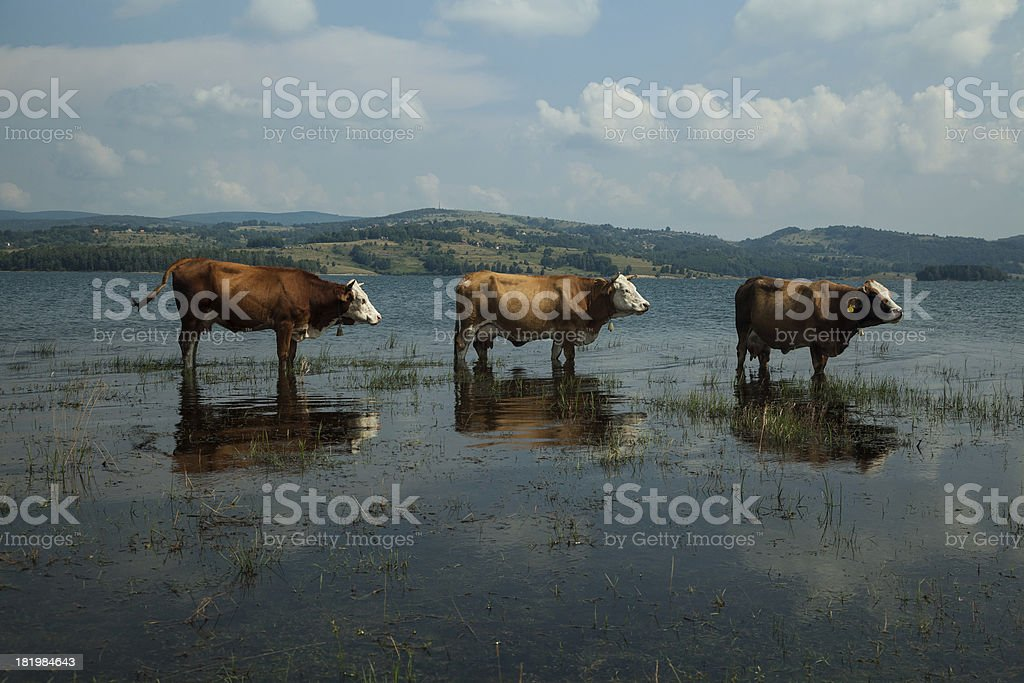 Cows in the Lake royalty-free stock photo