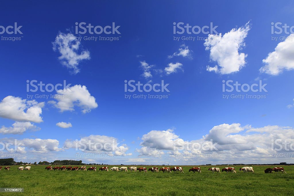 Cows in the meadow royalty-free stock photo