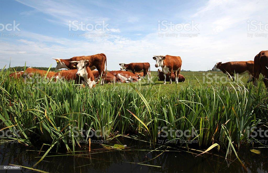 Kühe auf der Wiese  – Foto
