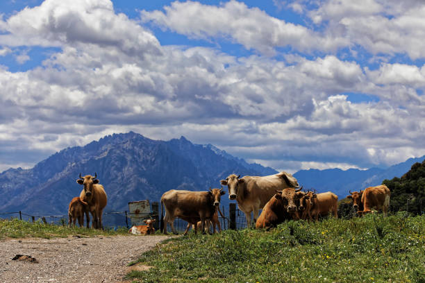 Cows in the mid mountains in Corsica