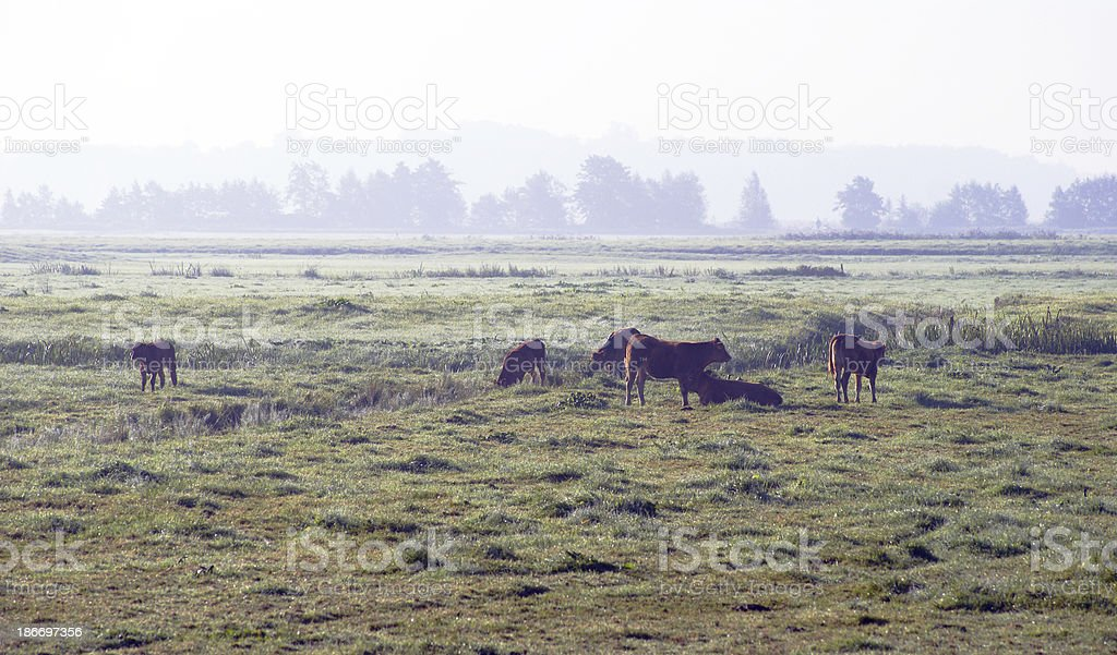 cows in the moring summer fog royalty-free stock photo