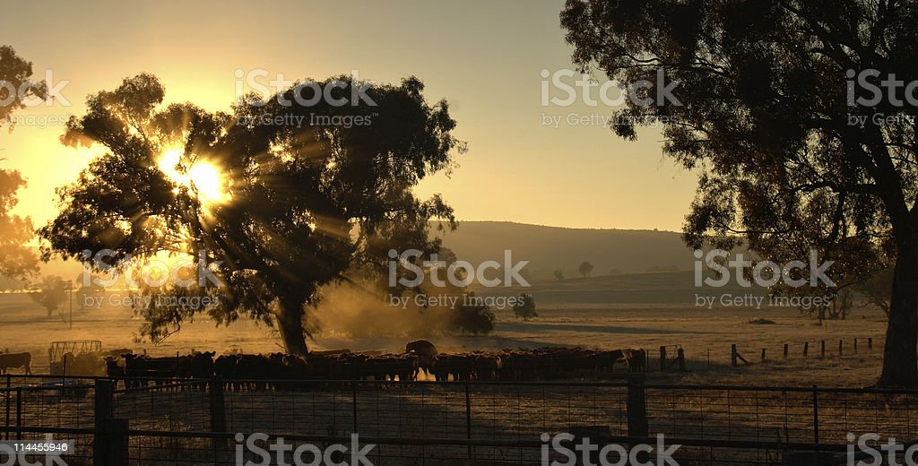 cows in the morning stock photo