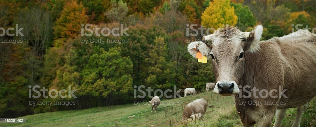 Cows in the mountain. royalty-free stock photo