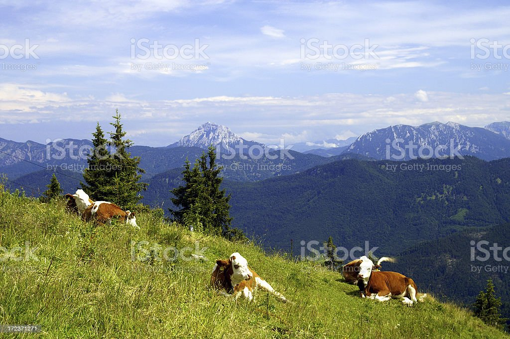 Cows in the mountains 2 royalty-free stock photo