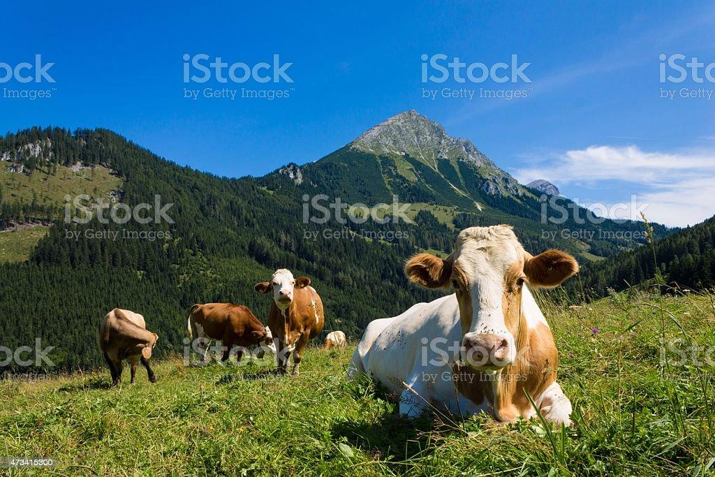 Kühe auf die Berge  – Foto