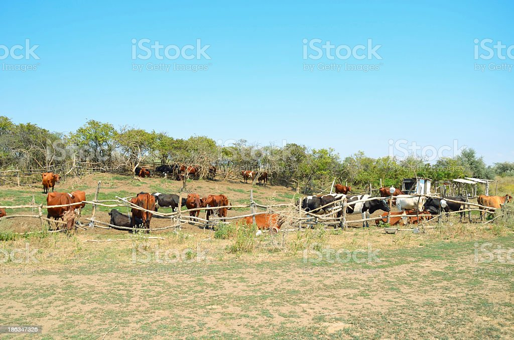 Cows in the pasture corral royalty-free stock photo