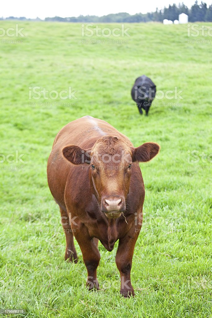 Cows in the Pasture royalty-free stock photo