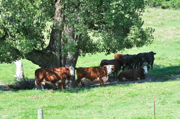 Kühe im Schatten – Foto